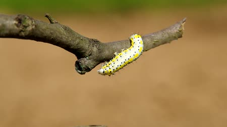 hernyó : Caterpillar on a branch of a tree and brown background.