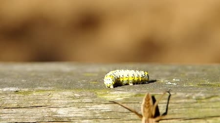 hernyó : Caterpillar and spider on wooden board