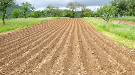 papa : Potatoes planted in the soil at the end of the village  Vídeos