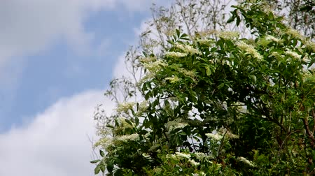 mürver : Elderflower blooming in the wind