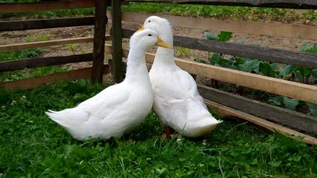 лебедь : Two white ducks in the pen are looking from side to side.