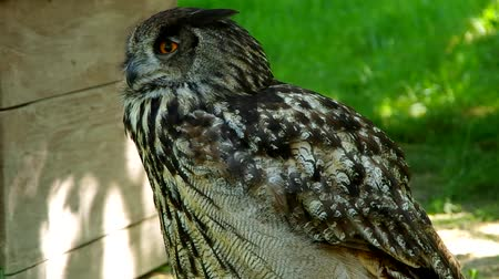 olhos castanhos : Eagle Owl is looking at the camera