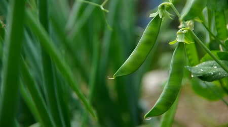 ervilhas : Green pea pods ready for harvest on a pea vine Stock Footage