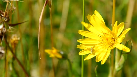 tragopogon pratensis : Tragopogon pratensis, yellow flower in meadow