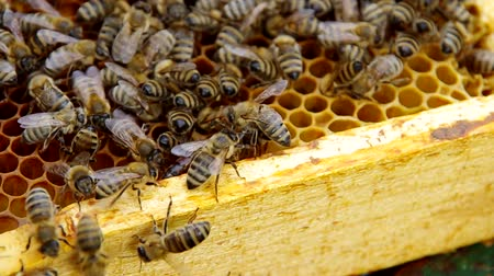 королева : The queen bee on honeycomb is marked red Стоковые видеозаписи