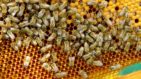 animais : Bees on honeycomb and white bee larvae