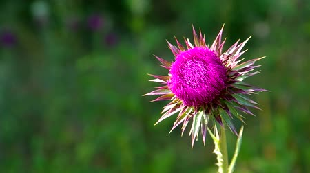 cardo : Flowery pink thistle on green background. Vídeos