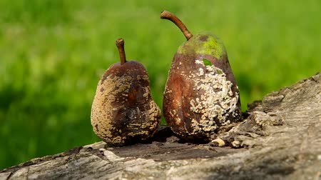 hnijící : Two rotten and moldy pears on a green background