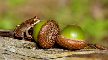 žalud : Edible Frog on acorn on a green background