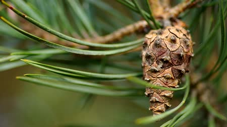 pinho : Cone on a pine tree in the wind