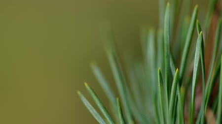 agulha : Detail of pine needles in the wind