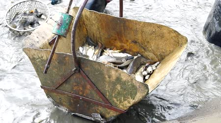 fish farm : Man loaded the fish into the container during harvesting of fish
