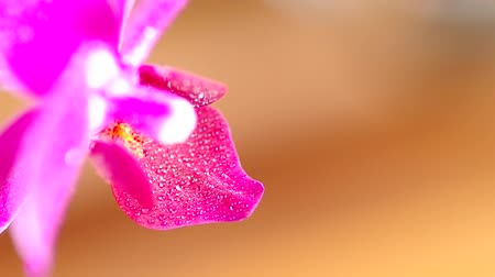 bouquets : Pink orchid flower and  water droplets Stock Footage