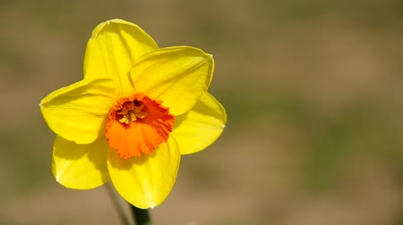 narciso : Flower of yellow narcissus and green background Stock Footage