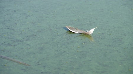 költő : Birds feather on the surface of the polluted lake Stock mozgókép