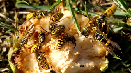 darázs : Wasps eat a pear in the garden in autumn Stock mozgókép