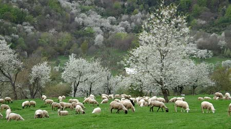 koyun : Flock of sheep grazes in a meadow with blossoming cherry trees