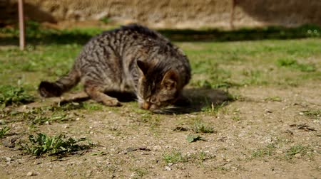 bakıyorum : Cat walks around the yard and look for something Stok Video
