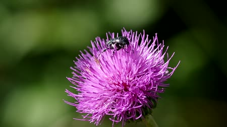 devedikeni : Beetle on thistle blooming on green background