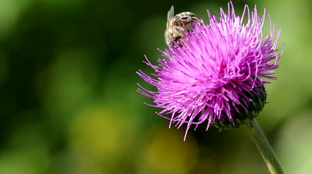devedikeni : Bee on thistle blooming in summer Stok Video