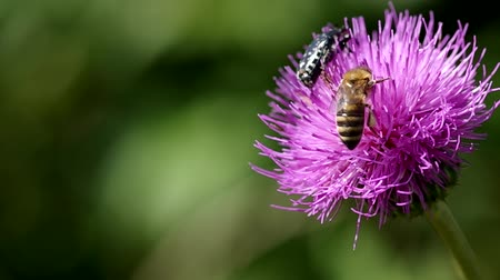 devedikeni : Bee and bug on thistle blooming in summer Stok Video
