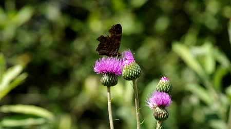 devedikeni : Butterfly on blooming thistle eats pollen