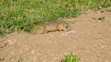 sciuridae : European ground squirrel, Spermophilus citellus, lives on a meadow in a colony