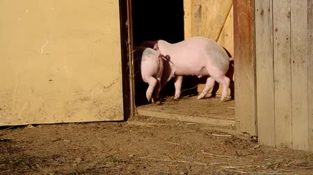piglet : Two piglets in the yard have a paddock Stock Footage