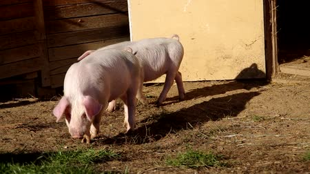 padok : Two piglets in the yard have a paddock Stok Video
