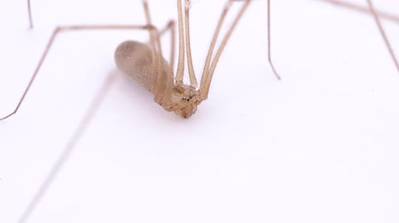 fobi : Spider with long legs on white background Stok Video