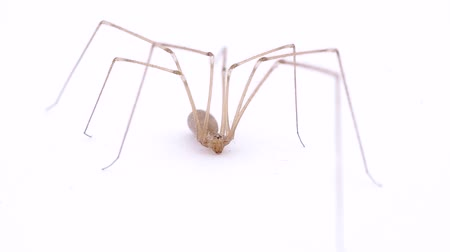 паук : Spider with long legs on white background Стоковые видеозаписи