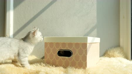 british cat : Cute persian cat playing in gift box