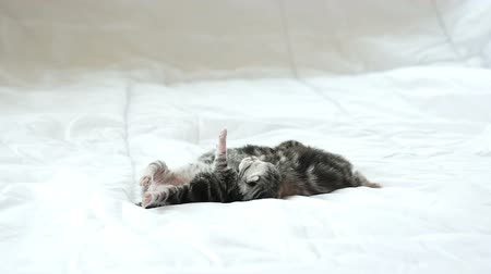 british cat : Newborn American Shorthair kittens sleeping on white bed