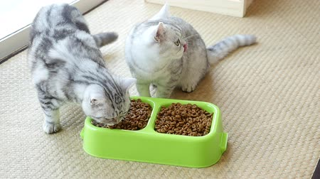 cat bowl : Two American Shorthair kittens eating dry cat food,slow motion Stock Footage
