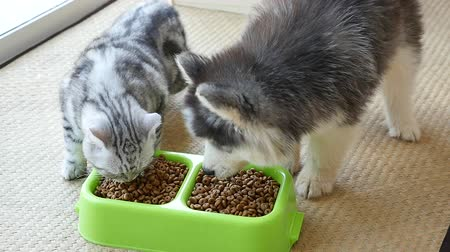 cat bowl : Cute puppy and kitten eating dry food together,slow motion
