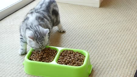 cat bowl : American Shorthair kitten eating dry cat food,slow motion