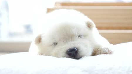 Cute siberian husky puppies lying and sleeping in pet bed