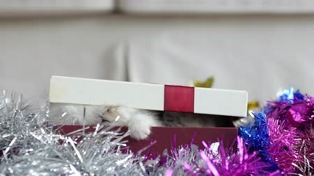 rodzeństwo : Cute tabby kitten playing in a gift box with Christmas decoration slow motion