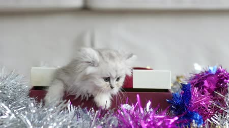 Cute tabby kitten playing in a gift box with Christmas decoration slow motion
