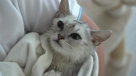 pisi : Cute kitten after bath is covered with a white towel slow motion