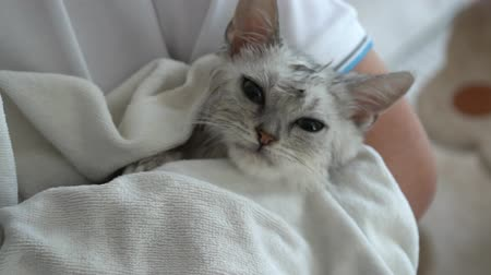 shake hair : Cute kitten after bath is covered with a white towel slow motion