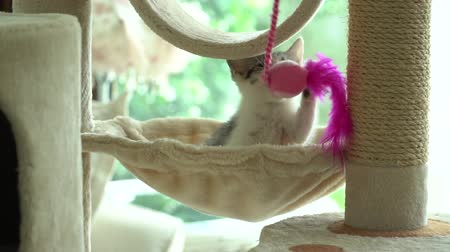 morder : Cute persian cat playing toy on cat tower slow motion Stock Footage