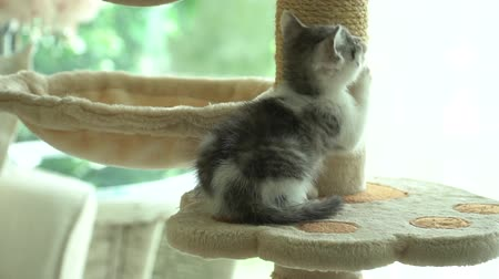 persie : Cute persian cat playing toy on cat tower slow motion Dostupné videozáznamy
