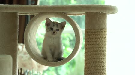 tekir : Cute persian kitten playing and looking on cat tower slow motion Stok Video