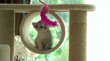 persie : Cute persian kitten playing and looking on cat tower slow motion Dostupné videozáznamy