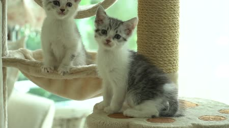 sourozenci : Cute persian kittens playing toy on cat tower slow motion