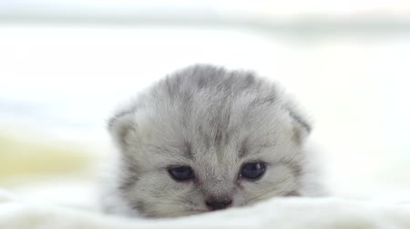 perzsa : Close up cute persian kitten lying on white bed slow motion Stock mozgókép