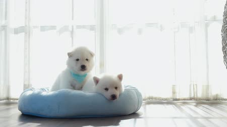 сибирский : Two of siberian husky puppies on pet bed under sunlight slow motion Стоковые видеозаписи