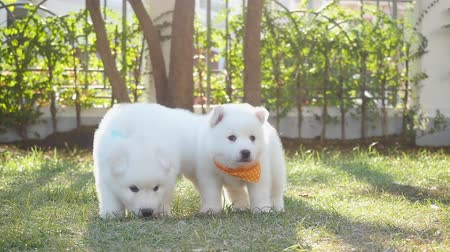 сибирский : Two white siberian husky puppies playing on grass slow motion