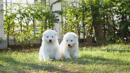 pies : Two white siberian husky puppies playing on grass slow motion